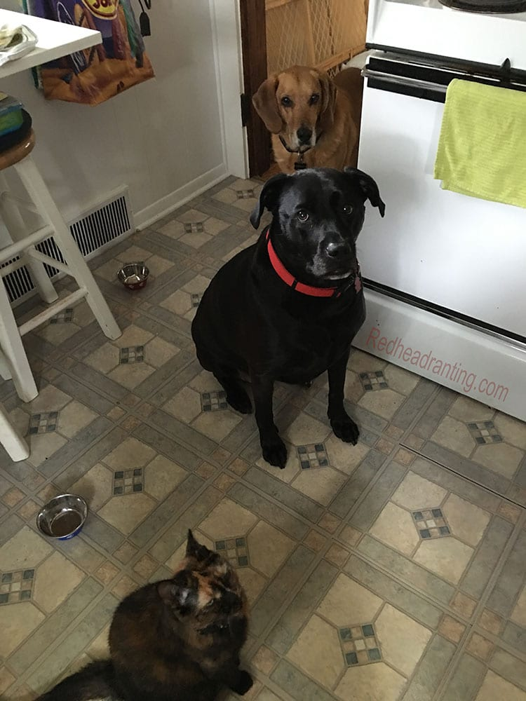 dogs and cat begging for food