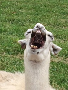 laughing llama