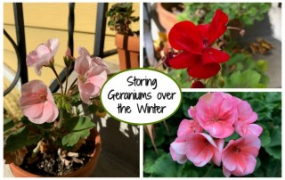 Storing Geraniums over the Winter