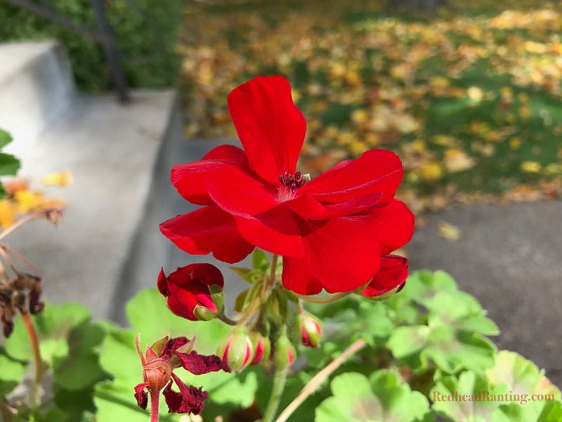 Storing geraniums for the winter