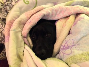 cute pit bull dog wrapped in blankets