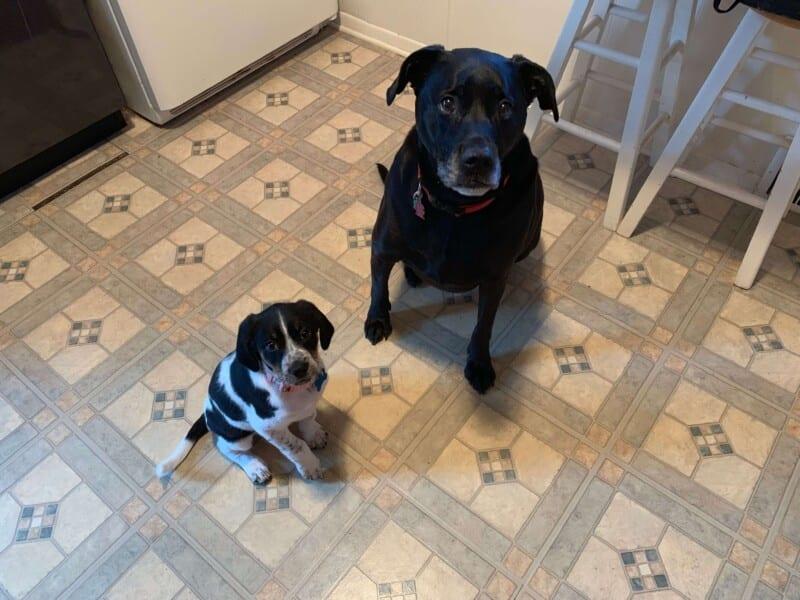 border collie and blue tick hound puppy