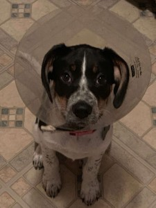 puppy wearing cone of shame